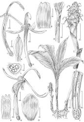 Figure 2. Larsenianthus wardianus W. J. Kress, Thet Htun & Bordelon. A overall habit B leaf base with petiole and ligule C inflorescence D inflorescence bract E bracteole F calyx, spread open G flower, lateral view H flower, front view I flower, semi-lateral view with corolla tube cut away to show epigynous nectaries and style J base of flower, cut-way view to show style, and ovary K anther with slightly protruding stigma L ovary, transverse section. Line drawing by Alice Tangerini from plants in cultivation; Botany Research Greenhouse Accession #02-7054and US National Herbarium voucher W. J. Kress 10-8750.