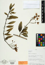 Figure 1. Isotype specimen of Solanum kulliwaita S. Knapp. (Valenzuela et al. 3163, NY [NY00824906]). Specimen image reproduced with the permission of The C. V. Starr Virtual Herbarium of The New York Botanical Garden (http://sciweb.nybg.org/science2/VirtualHerbarium.asp).