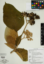 Figure 3. Isotype specimen of Solanum dillonii S. Knapp. (Stern et al. 119, NY [NY00986687]). Specimen image reproduced with the permission of The C. V. Starr Virtual Herbarium of The New York Botanical Garden (http://sciweb.nybg.org/science2/VirtualHerbarium.asp).