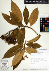 Figure 4. Isotype specimen of Solanum oxapampense S. Knapp. (Smith & Albán 5558 NY [NY00723838]). Specimen image reproduced with the permission of The C. V. Starr Virtual Herbarium of The New York Botanical Garden (http://sciweb.nybg.org/science2/VirtualHerbarium.asp).