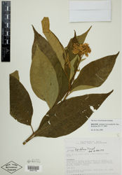 Figure 5. Isotype specimen of Solanum verecundum M.Nee. (Jaramillo et al. 13258, NY [NY00381798]). Specimen image reproduced with the permission of The C. V. Starr Virtual Herbarium of The New York Botanical Garden (http://sciweb.nybg.org/science2/VirtualHerbarium.asp).