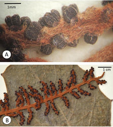 Figure 2. Ampelocissus asekii J.Wen, R.Kiapranis & M.Lovave. A Close-up of an inflorescence branch showing trichomes and floral morphology B A portion of inflorescence laying on the adaxial leaflet surface.