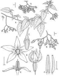Figure 35. Solanum dulcamara L. (All drawn from live plants in Battleboro, Vermont, USA). Illustration by Bobbi Angell.