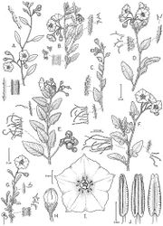Figure 99. Solanum umbelliferum Eschsch. (A drawn from Joyal & Mehlmar 1272 B drawn from Halse 6149 C drawn from Twisselman 3423 D drawn from Anderson 2886 E drawn from Blakley 3954 F drawn from Chamberlain s.n. G–J drawn from Williams 68-3-10). Illustration by Bobbi Angell.