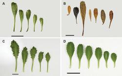 Figure 6. Cauline leaves of (A) Lepidium oligodontum—variation within a single plant, (B) Lepidium oligodontum - variation amongst plants from different locations: (left to right) The Sisters, Western Reef, Point Somes, Moriori Creek, Star Keys, Rangatira Island, Antipodes Island. (C) Lepidium panniforme, (D) Lepidium rekohuense. Scale bars = 20 mm.