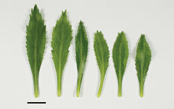 Figure 13. Lepidium aegrum (from left to right) basal- to mid-stem foliage. Scale bar = 20 mm.