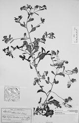 Figure 16. Holotype of Lepidium amissum de Lange et Heenan.