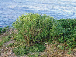 Figure 27. (A) Wild plant of Lepidium castellanum on cliff top of Macauley Island showing growth habit (plant growing with Scaevola gracilis, Tetragonia tetragonioides and Disphyma australe subsp. stricticaule) (image: J.W. Barkla).