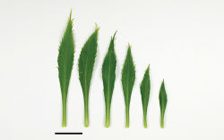 Figure 29. (From leaf to right) basal-, mid- and upper-stem leaves of Lepidium castellanum. Scale bar = 20 mm.
