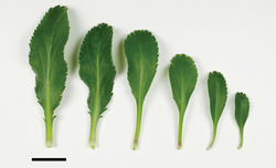 Figure 36. (From left to right) basal-, mid- to upper-stem leaves of Lepidium crassum. Scale bar = 20 mm.