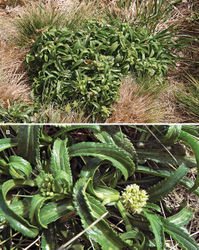 Figure 51. Lepidium limenophylax: (A) flowering plants on the Snares in Poa astonii / Poa tennantiana grassland showing decumbent growth-habit (image: R. Ewans); (B) close up of young and emergent inflorescence (image: S. Lake).