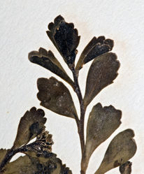 Figure 67. Upper stem leaves of Lepidium obtusatum. AK 4476.
