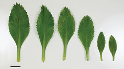 Figure 74. (From left to right) basal-, mid- to upper-stem leaves of Lepidium oleraceum. Scale bar = 20 mm.