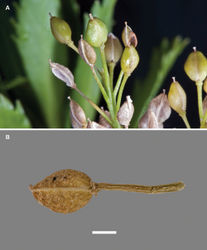 Figure 75. (A) Mature and dehisced silicles of Lepidium oleraceum. (B) Mature silicle beginning to disarticulate at the base and at the apex (causing it to appear to have a notch). Scale bar = 1 mm.