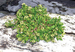 Figure 78. Wild plant of Lepidium oligodontum on Te Wakaru Island, showing decumbent growth habit.