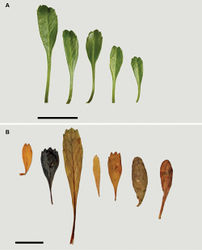 Figure 79. (A) (from left to right) variation in rosette and basal-stem leaves from a single plant of Lepidium oligodontum; (B) (from left to right) leaf variation within populations from The Sisters (Rangitatahi), Western Reef, Point Somes, (Rekohu), Moriori Creek (Rekohu), Star Keys (Motuhope), Rangatira and Antipodes Island. Scale bars = 20 mm.