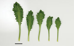 Figure 84. (From left to right) basal- and mid-stem leaves of Lepidium panniforme. Scale bar = 20 mm.