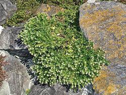 Figure 89. Wild plant of Lepidium rekohuense showing decumbent branches and inflorescences, plant growing amongst Chatham Schist boulders at Kaiangaroa, Rekohu (boulders are 1–2 m diameter)