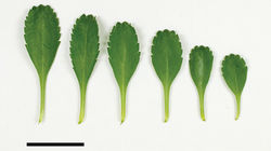 Figure 91. (From leaf to right) rosette-, basal- and mid-stem leaves of Lepidium rekohuense. Scale bar = 20 mm.