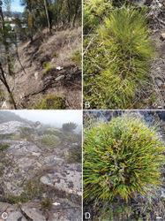 Figure 4. Comparison of habitat and habit of Lepidosperma inops and Lepidosperma monticola. A, B Lepidosperma inops (G.T. Plunkett 112) at University of Tasmania campus, Hobart C, D Lepidosperma monticola (G.T. Plunkett 99, J.J. Bruhl & C.J. Prychid) at the type locality, Tarn Shelf, Mt Field National Park. Scale bars = 1 cm. Arrows indicate plants of Lepidosperma inops (A) and Lepidosperma monticola (C).