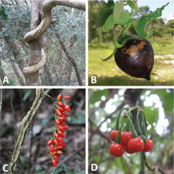 Figure 2. Habit and fruits of species of the ANS clade. A Habit of Solanum sambiranense D'Arcy & Rakot. (Madagascar, Randrianasolo 580) B Fruit of Solanum imamense Dunal (Madagascar, Rakotavao 5128) C Fruit of Solanum terminale Forssk., pointed form (Angola, Goyder et al. 7749) D Fruit of Solanum terminale Forssk., globose form (Tanzania, Tepe et al. 2783). Photo credits: A Richard Randrianasolo; B Charles Rakotavao; C David Goyder; D Maria Vorontsova.