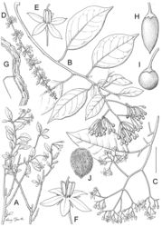 """Figure 25. Solanum terminale Forssk. A Flowering branch of savanna form (nakurense-type) B Fruiting branch of climbing plant with open infructescence with globose berries (terminale-type) C Flowering branch of climbing plant with open inflorescence D Flowering branch of climbing plant with narrow, spicate inflorescence (welwitschii-type) E Flower with fused anther cone (welwitschii-type) F Flower with non-fused anther cone (terminale-type) G Corky bark of older stems H Fusiform mature berry I Globose mature berry J """"Hairy"""" seed from mature fruit showing elongate lateral cell walls. (Based on: A Ash 2932; B Drummond 3155; C Gilbert & Friis 8417; D, E Etuge & Thomas 31; F Greenway & Kanuri 13883; G Synnot 617; H, J Mbani 142; I Mbatchou 21). Scale bar: A, C, D, G = 3 cm; B = 4 cm; E, F, H, I = 7 mm; J = 2 mm. Drawn by Lucy T. Smith."""