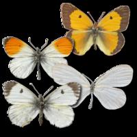 Weiß-, Gelb- und Orangetöne herrschen in der Grundfarbe vor