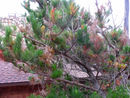 Pine pitch canker.jpg