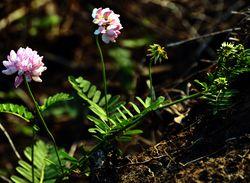 Bunte Kronwicke: Pflanze– Daniel Gross, CC BY-SA 4.0