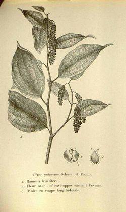 alt=Description de l'image Piper guineense01.JPG.