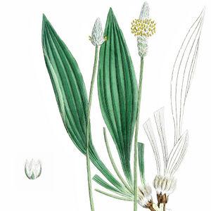 Spitzwegerich Blätter mit Blütenstand und Einzelblüte (l.u.)—Abbildung aus Boswell u.a. (English Botany, Bd.7, 1867)