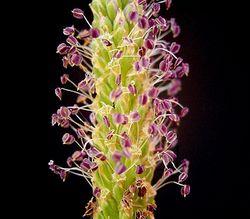 Breit-Wegerich: Blüte– Frank Vincentz, CC BY-SA 3.0