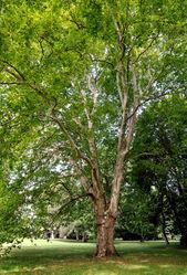 Ahornblättrige Platane: Pflanze– Tivadar Nemesi, CC BY-SA 3.0