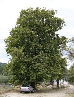 alt=Description de l'image Platanus orientalis tree, Thasos.jpg.