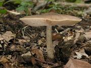 Pluteus cervinus. Foto: ©Georg Müller