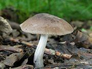 Pluteus cinereofuscus. Foto: ©Georg Müller