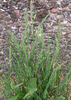 Poa nemoralis, Pflanze