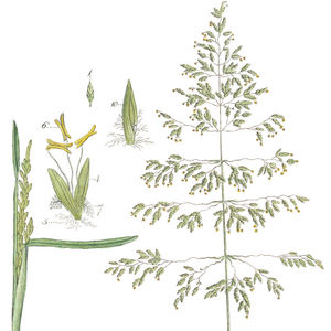 Blütenrispe mit Details der Blüten. 1(typisches 5–blütiges) Ährchen; 4Einzelblüte mit Vorspelze und Deckspelze, 5wolligen Fädenstrukturen, 6Stäubbeutel und 7Griffel; 10Frucht vergrößert—Abbildung aus Curtis u.a. (Bd.2, 1777, Tafel 5)