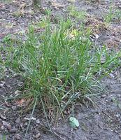 Poa pratensis (Veldbeemdgras plant).jpg
