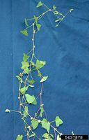 Polygonum perfoliatum IPM5437878.jpg