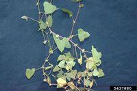 Polygonum perfoliatum IPM5437880.jpg