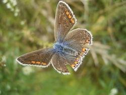 Oberseite des Weibchens (blaue Variation) - Svdmolen, CC BY-SA 3.0