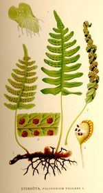 Tüpfelfarn (Engelsüß) (Polypodium vulgare)