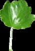 Blattoberseite Silber-Pappel