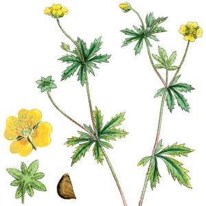 Blutwurz Portraitbild mit oberem Teil der Pflanze, Kronblatt, Unterseite der Blüte und Samen z.T. stark vergrößert (von Boswell u.a. aus English Botany (1864, Bd. 3); vergrößerte Blüte links aus Masclef u.a. aus Atlas des plantes de France (1891, Bd. 2)