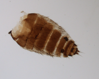 P. pullula, ♀ Abdomen, dorsal