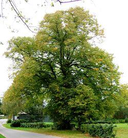 alt=Description de l'image Præstens træ.jpg.