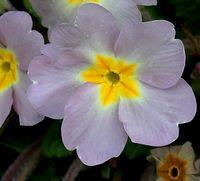 Primula x hortensis-Bayreuth 6 (M. Breitfeld).JPG