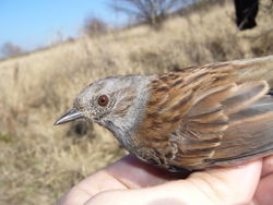 Heckenbraunelle: Alttier (adult) - Hedge Sparrow, CC BY 4.0