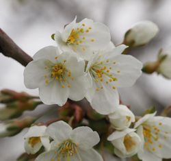 Blüten– Alice Kracht, CC BY-SA 4.0